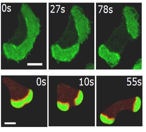 Secuencia de imágenes de microscopía de una división celular por ondas de proteína. Las ondas proteicas son de color verde y se mueven en sentido opuesto, dividiendo así la célula en dos células hijas